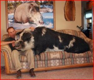 Kautsch-Schwein