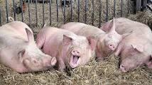 Unterhalten sich 2 Schweine
